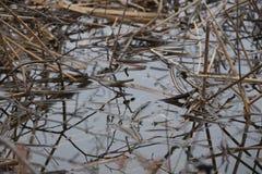 Opgedroogd wild gras in water stock afbeeldingen