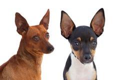 Opgeheven portret van grappige honden met grappige afluisteraar Royalty-vrije Stock Foto