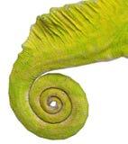 Opgerolde staart van een vier-Gehoornd Kameleon Royalty-vrije Stock Foto