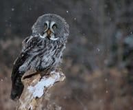 Opgeschrokken Groot Grey Owl Stock Afbeeldingen