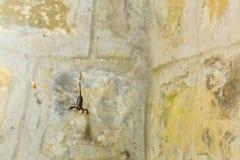 Opgesloten: Schorpioen in een Web Royalty-vrije Stock Afbeeldingen