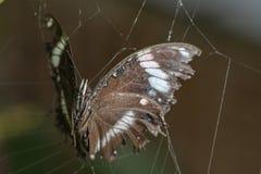 Opgesloten vlinder Stock Afbeelding