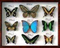Opgezette vlinderinzameling stock afbeelding