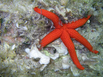 Ophidiaster ophidianus, Starfish underwater. Red sea star in the sea Royalty Free Stock Image