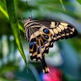 Ophidicephalus de Swallowtail Papilio do imperador fotografia de stock