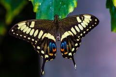 Ophidicephalus de Swallowtail Papilio do imperador imagem de stock royalty free