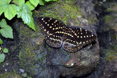 Ophidicephalusen för kejsare Swallowtail - Papilio arkivbilder