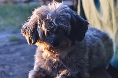 Ophie el perro Foto de archivo