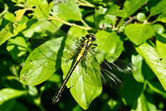 Ophiogomphus cecilia. Dragonfly Royalty Free Stock Photography