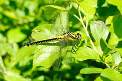 Ophiogomphus cecilia. Dragonfly Royalty Free Stock Image