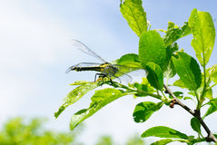 Ophiogomphus cecilia. Dragonfly on the green leaves Royalty Free Stock Photos