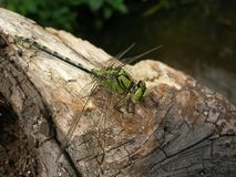 Ophiogomphus cecilia dragonfly. Green snaketail on tree trunk Royalty Free Stock Image