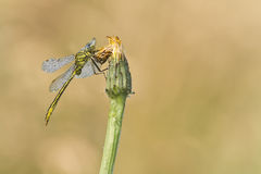 Ophiogomphus cecilia, green gomphid on a flower, Vosges, France Stock Photography