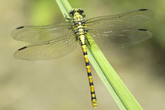 Ophiogomphus cecilia / Green Snaketail dragonfly. Female Stock Images