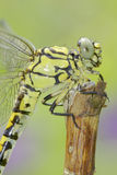 Ophiogomphus cecilia / Green Snaketail dragonfly Royalty Free Stock Image