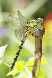 Ophiogomphus cecilia / Green Snaketail dragonfly Stock Photos