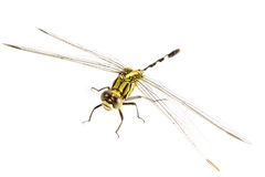 Ophiogomphus cecilia. Green Snaketail dragonfly on a white backg Stock Images