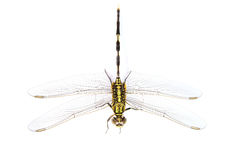 Ophiogomphus cecilia. Green Snaketail dragonfly Stock Photo