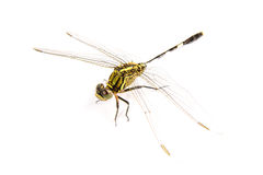 Ophiogomphus cecilia. Green Snaketail dragonfly Royalty Free Stock Photos