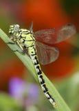 Ophiogomphus Cecilia/libellule Snaketail de vert photos libres de droits