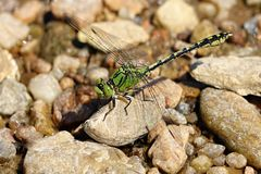 Ophiogomphus cecilia Royalty Free Stock Photo