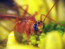 Ophion (Family Ichneumonidae). Is sitting on the yellow aster Stock Image