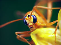 Ophion (Family Ichneumonidae) Stock Photography