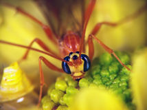 Ophion (Family Ichneumonidae). Is sitting on the yellow aster Royalty Free Stock Photos