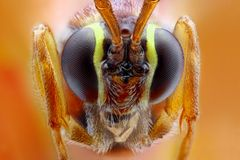 Ophion luteus extreme close-up Stock Photo