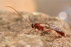 Ophion perkinsi ichneumon wasp Stock Photos