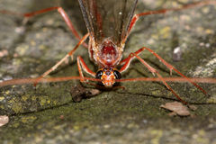 Ophion scutellaris ichneumon wasp head and eyes Stock Photography