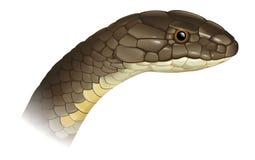 Ophiophagus hannah. Illustration of Ophiophagus hannah King Cobra Stock Images
