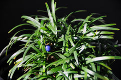 Ophiopogon Stock Images