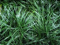 Ophiopogon japonicus dark green leaves of grass by ground cover plant background royalty free stock photo