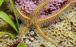 Ophiothrix suensoni sponge brittle star underwater Royalty Free Stock Image
