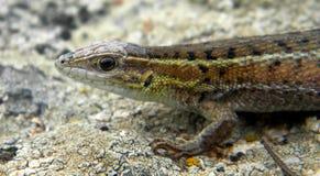 Ophisops elegans -蛇被注视的蜥蜴 图库摄影