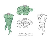 Ophophora roślina Barwiony i kontur ustalony stockvector illustratio Zdjęcie Royalty Free