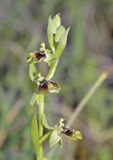 Ophrys aphrodite Orchid Stock Photos