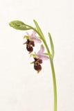 Ophrys Apifera, σπάνιο λουλούδι που απομονώνεται στο λευκό Στοκ Εικόνα