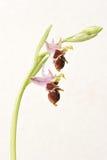 Ophrys Apifera, σπάνιο λουλούδι που απομονώνεται στο λευκό Στοκ φωτογραφία με δικαίωμα ελεύθερης χρήσης