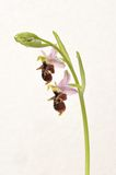 Ophrys Apifera, rare flower isolated on white Stock Image