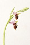 Ophrys Apifera, rare flower isolated on white Royalty Free Stock Photo