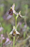 Ophrys elegans Orchid Royalty Free Stock Photo