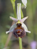 Ophrys elegans Orchid Stock Image