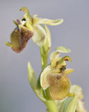 Ophrys levantina Orchid Royalty Free Stock Image