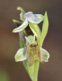Ophrys levantina Orchid Stock Photos