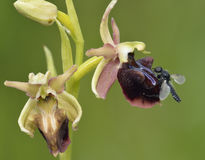 Ophrys morio Orchid Stock Photography