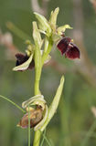 Ophrys morio Orchid Stock Images