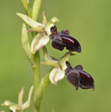 Ophrys morio Orchid Stock Image