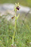 Ophrys morio Orchid Royalty Free Stock Photo
